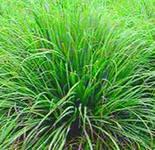 лимонная трава