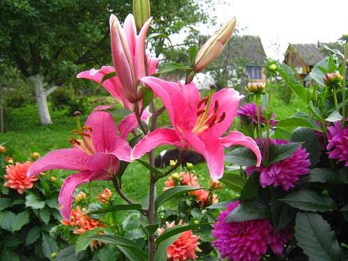 Лилии на даче и в саду фото