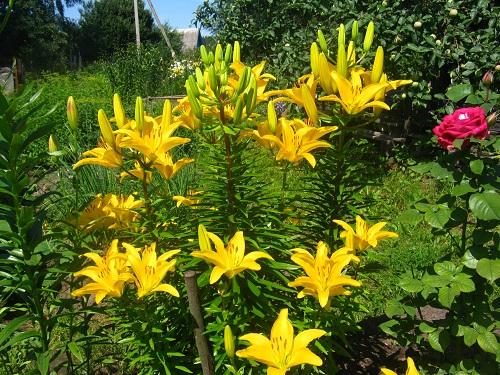 цветы в июле