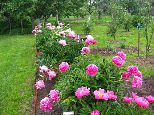 Картинки по запросу пион в саду