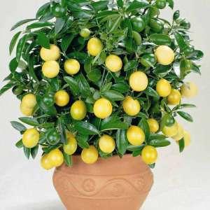лимоны в домашних условиях