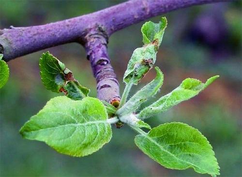 Вредители в цветах яблони