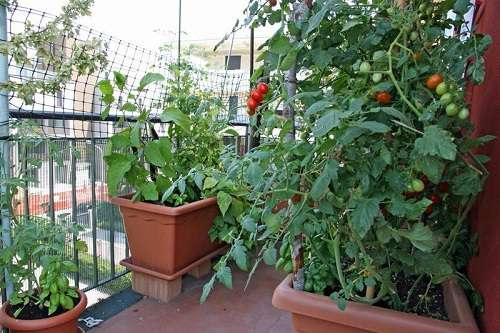 помидоры на подоконнике