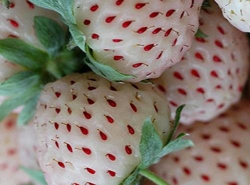 Лучшие сорта клубники - МИРАГРО com - сельскохозяйственный