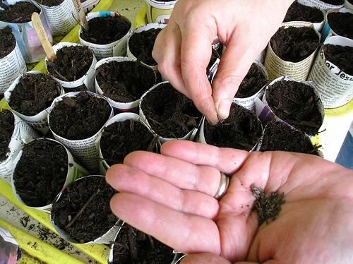 Когда сажать цветную капусту на рассаду в 803