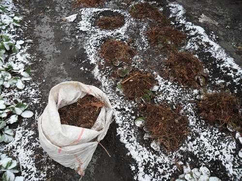 условия выращивания земляники