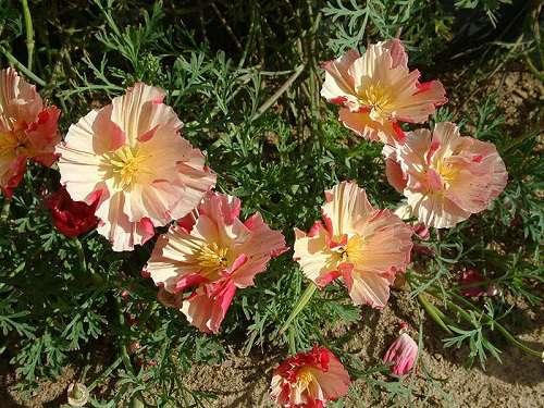 Эшшольция цветок из солнечного света (Цветник, Обмен опытом)