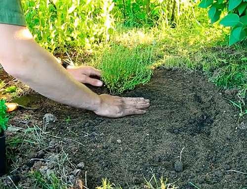 Выращивание тимьяна в открытом грунте 965