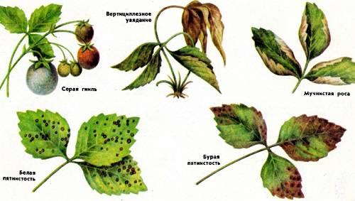 болезни земляники